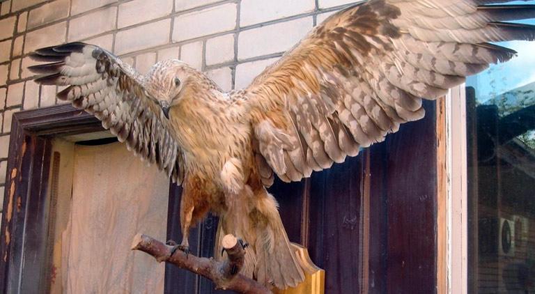 Чучело хищной птицы отпугивает голубей
