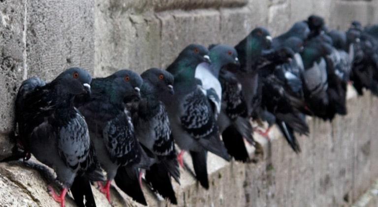 Способы избавления от голубей на незастеклённом балконе